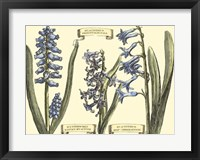 Framed Hyacinth in Bloom