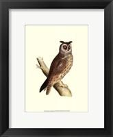 Framed Long Eared Owl