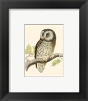 Tengmalm's Owl Framed Print