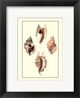 Strombus Shells Framed Print