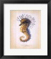Framed Shorthead Seahorse