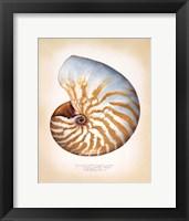 Chambered Nautilus Framed Print