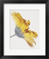 Framed Gerbera, Bright Yellow on White