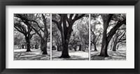 Framed Oak Tree Study