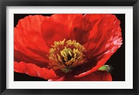 Framed Red Poppy