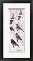 Framed Western Bluebird