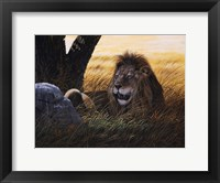 Framed Serengeti Lion