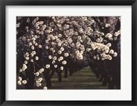 Framed Almond Blossoms