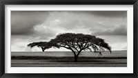 Framed Acacia Trees