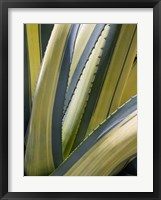 Framed Variegated Agave II