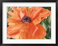 Framed Fading Poppy