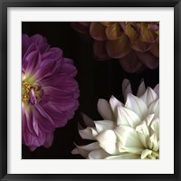 Framed Purple Dahlia II