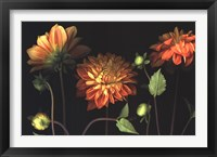 Orange Dahlia Garden Framed Print