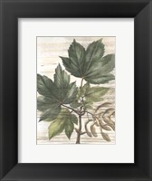 Framed Small Weathered Maple Leaves II