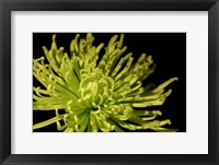 Framed Small Fuji Mum I (P)