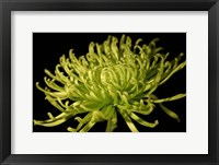 Framed Small Fuji Mum II (P)