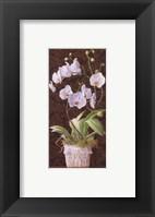 Framed Orchid Phaleanopsis