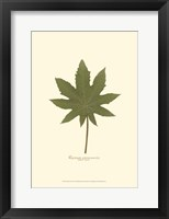 Framed Small Castor Bean (P)
