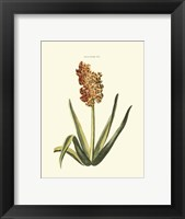 Framed Antique Hyacinth XV