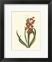 Framed Antique Hyacinth V