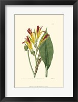 Framed Antique Canna I
