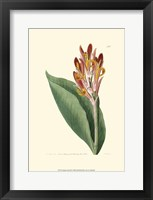 Framed Antique Canna III