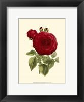 Framed Magnificent Rose I