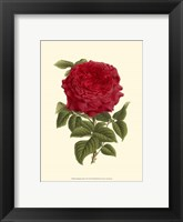 Framed Magnificent Rose II