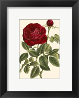 Framed Magnificent Rose IV