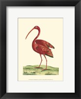 Framed Red Ibis