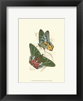 Framed Butterflies III