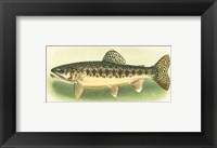 Framed River Trout III