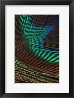 Framed Peacock Feathers I