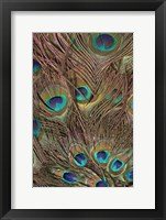 Framed Peacock Feathers III