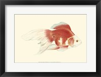 Framed Fringetail Goldfish