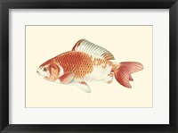 Framed Common Goldfish