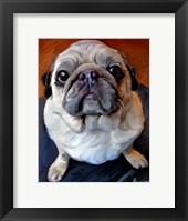 Framed Pug on a Rug