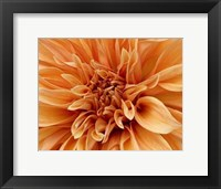 Graphic Dahlia I Framed Print