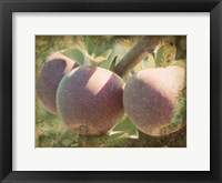 Framed Vintage Apples I