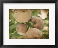 Framed Vintage Apples IV