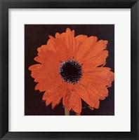 Midnight Gerbera I Framed Print