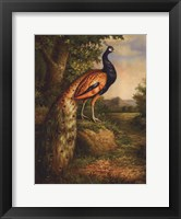 Framed Classic Peacock