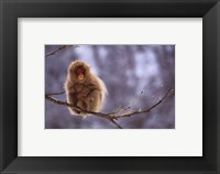 Framed Snow Monkey