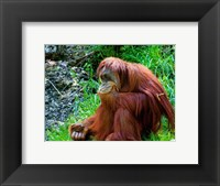 Framed Orangutan - Giving it some thought