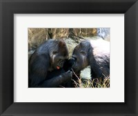 Framed Gorillas - Look what I found!