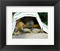 Framed Orangutan - Give me shelter