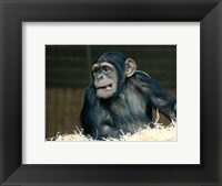Framed Funny Monkey