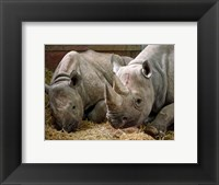 Framed Two Rhinos