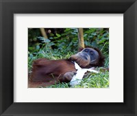 Orangutan - Just about to take a nap Framed Print
