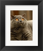 Framed Brittish Shorthair